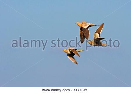 chestnut-bellied sandgrouse (Pterocles exustus), three individuals flying, Oman - Stock Photo