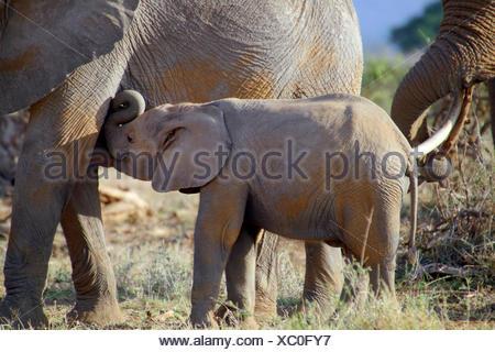 African elephant (Loxodonta africana), elephant calf drinking by the mother, Kenya, Amboseli National Park - Stock Photo