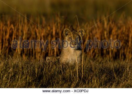 Portrait of a lioness, Panthera leo, and her cub in Botswana's Okavango Delta. - Stock Photo