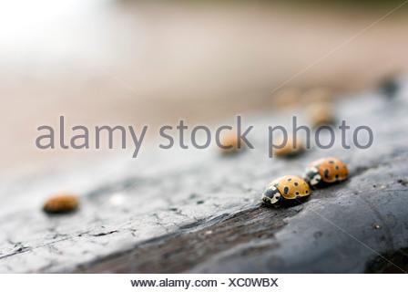 Selective focus of ladybugs on wood - Stock Photo