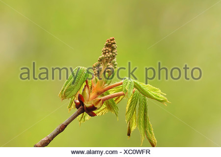 Horse Chestnut (Aesculus hippocastanum), leaves and flower buds, North Rhine-Westphalia - Stock Photo