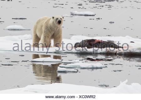 A polar bear, Ursus maritimus, with a bearded seal, Erignathus barbatus, kill on an ice floe in the Greenland Sea. - Stock Photo