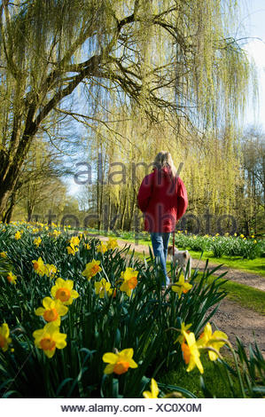 A woman in a red coat standing on a path in a garden with flowering daffodils. - Stock Photo