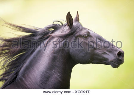 Pure Spanish Horse, Andalusian. Black stallion galloping on a pasture, portrait. Austria - Stock Photo