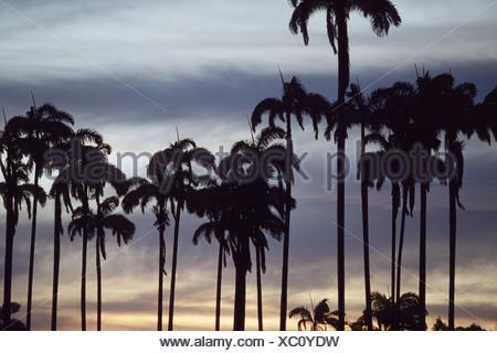 Caribean Royal palm (Roystonea oleracea), Palms in backlight - Stock Photo