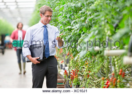 Businessman inspecting tomato plants in greenhouse - Stock Photo
