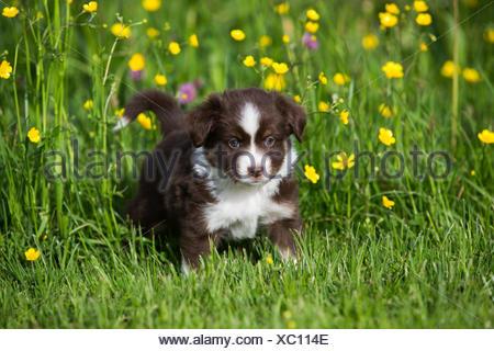 Miniature American Shepherd or Miniature Australian Shepherd or Mini Aussie puppy, Red Tri, in flower meadow - Stock Photo