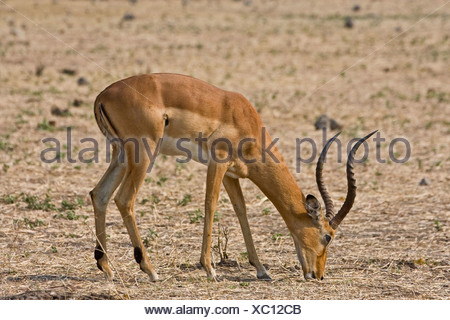 eating impala - Stock Photo