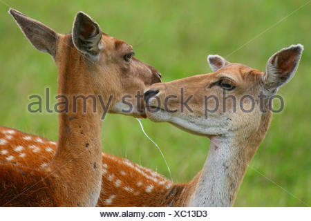 fallow deer (Dama dama, Cervus dama), two hinds nosing at each other - Stock Photo