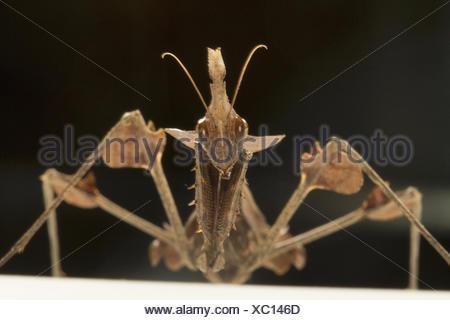 Wandering violin mantis. Gongylus gongylodes, NCBS, Bangalore, India - Stock Photo