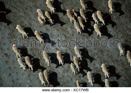 Aerial view of herd of Common zebra (Equus burchelli) Makgadikgadi salt pans, Botswana - Stock Photo