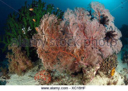 Giant Seafan in Coral Reef, Melithaea sp., Komodo, Indonesia - Stock Photo