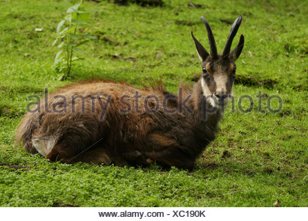 zoology / animals, mammal / mammalian, Bovidae, Chamois (Rupicapra rupicapra), lying in meadow, Lüneburg Heath, Germany, distribution: Europe, Asia, Additional-Rights-Clearance-Info-Not-Available - Stock Photo