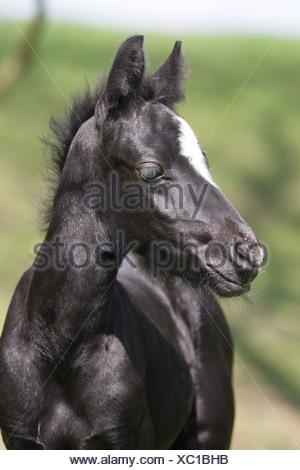 Connemara Pony (Equus ferus caballus). Portrait of black foal with blaze - Stock Photo