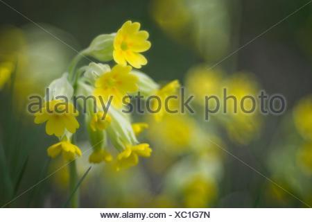 Cowslip (Primula veris), Flower of 2016, Baden-Württemberg, Germany - Stock Photo