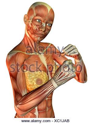 3D Rendering der Muskeln an einem weiblichen Oberkörpers Stock Photo ...