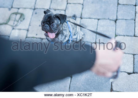 Woman holding dog lead of her pug - Stock Photo