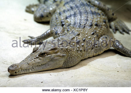 Philippine crocodile, Philippines crocodile, Mindoro crocodile (Crocodylus mindorensis), portrait - Stock Photo