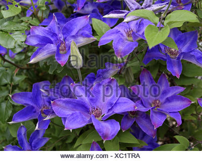 Kletterpflanze, Clematis, Blueten, violett, Natur, Vegetation, Botanik, Pflanzenwelt, Pflanze, Blume, bluehen, lila, Waldrebe, H - Stock Photo