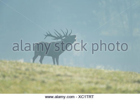 Red Deer (Cervus elaphus), stag bellowing during the rutting season, captive, Lower Saxony, Germany - Stock Photo