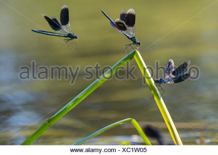 banded blackwings, banded agrion, banded demoiselle (Calopteryx splendens, Agrion splendens), three banded blackwings on buckled blades of reed, Germany, Lower Saxony - Stock Photo