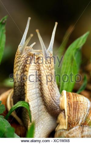 Edible snail snails snail molluscs Mollusca edible snails Helix pomatia snail shells mating spring grass animal animals Germa - Stock Photo
