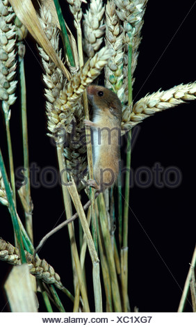 Harvest mouse Micromys minutus on maize or corn ears seeds United Kingdom - Stock Photo