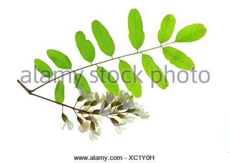 Black Locust/ False Acacia (Robinia pseudoacacia) - Stock Photo