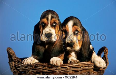 Hush Puppies Breed Of Dog