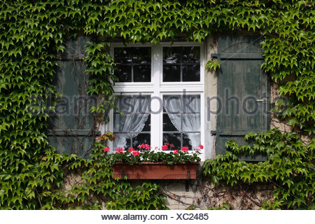 Windows with shutters, jardinière and tendril plant - Stock Photo