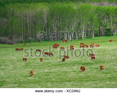 Livestock - Hereford cows grazing on an early summer foothill pasture / Alberta, Canada. - Stock Photo