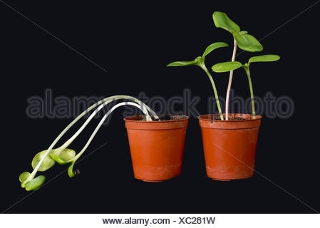 Sunflower seedlings grown with and etiolated, chlorotic and week without light (right) - Stock Photo