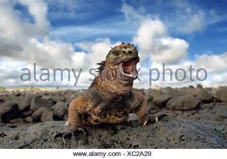 Marine iguana, Santa-Cruz Island, Galapagos Islands, Ecuador. - Stock Photo