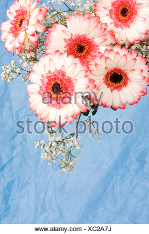 Transvaal daisies (Gerbera jamesonii) - Stock Photo
