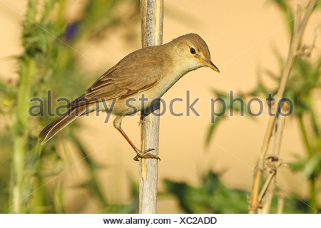 Eurasian Reed Warbler, Caspian Reed Warbler (Acrocephalus scirpaceus ssp. fuscus, Acrocephalus scirpaceus fuscus, Acrocephalus fuscus), sitting at a sprout, Turkey, Sanliurfa, Birecik Gravel Pits - Stock Photo