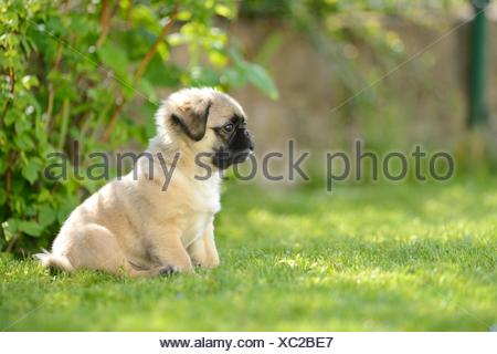 Chug (Chihuahua and pug mix) dog puppy on a meadow - Stock Photo