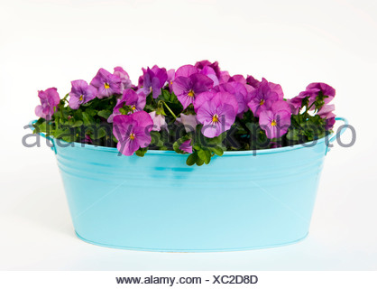 Pansies potted up in a blue metal container - Stock Photo