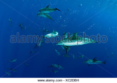 Atlantic spotted Dolphins, Stenella frontalis, Formigas, Azores, Portugal - Stock Photo