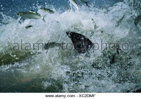 Fish chased into shore by Bottlenose dolphins strand feeding at salt marsh, SE USA - Stock Photo