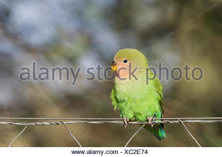 Rosy-faced lovebird (Agapornis roseicollis) juvenile on wire fence, South-east Namibia - Stock Photo