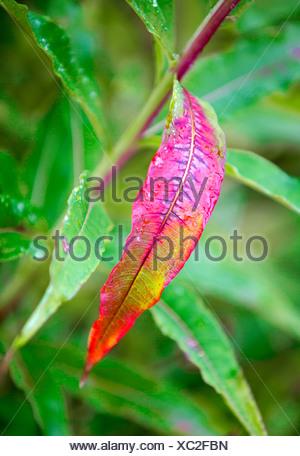 fireweed, blooming sally, rosebay willow-herb, great willow-herb (Epilobium angustifolium, Chamaenerion angustifolium), fireweed in autumn, Norway, Troms, Tromsoe - Stock Photo