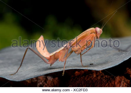 Giant Malaysian shield praying mantis (Rhombodera basalis), full length portrait - Stock Photo