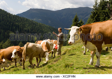 farmer counting cows on mountain pasture - Stock Photo