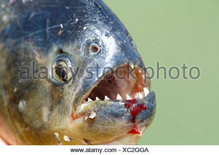 Red-bellied piranha (Pygocentrus nattereri), adult, portrait, Pantanal, Brazil, South America - Stock Photo