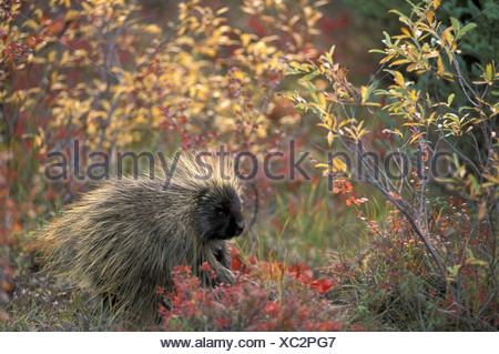 common Porcupine Erethizon dorsatum autumn nature animal Alaska USA North America America - Stock Photo