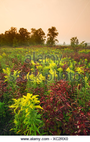 Field of wildflowers (Teasle and Goldenrod) near Canborough, Ontario, Canada - Stock Photo