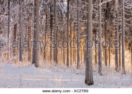 Light-flooded pine forest, Norway spruce (Picea abies), Thuringian Forest, Rennsteig, Thuringia, Germany - Stock Photo