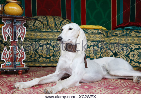 Saluki (Canis lupus f. familiaris), lying in an oriental tent - Stock Photo