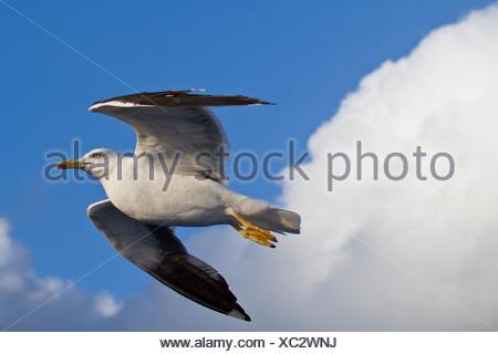 lesser black-backed gull (Larus fuscus), flying, Sweden - Stock Photo