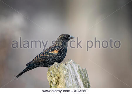 Immature male Red-winged Blackbird (Agelaius phoeniceus), Lynde Shores Conservation Area, Whitby, Ontario, Canada - Stock Photo
